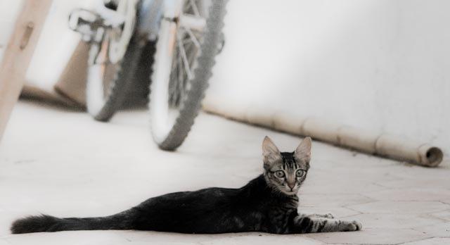 Фотография синайской кошки